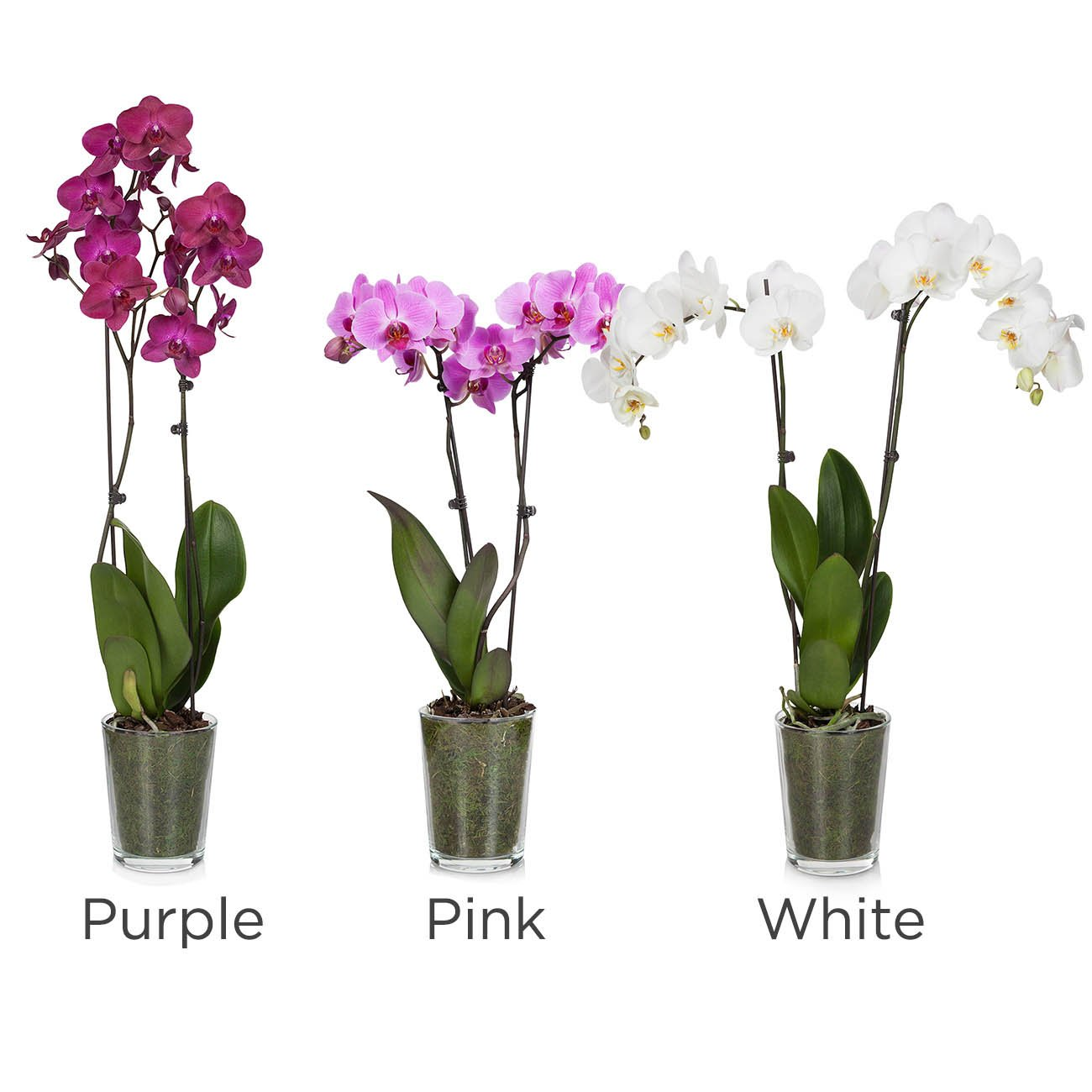 Floral Premium Orchids Shop Potted Plants At H E B