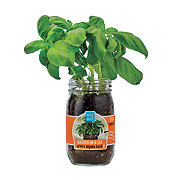Back To The Roots Garden In A Jar Organic Basil