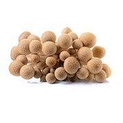 Fresh Brown Clamshell Mushroom