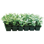 Growers Select Dusty Miller 4in
