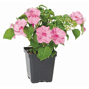 Growers Select Impatiens 4 Inch