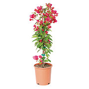 H-E-B 1 Gallon Bougainvillea