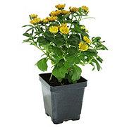 H-E-B 4 in Garden Mum