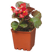 H-E-B Begonias Assorted 4 Inch