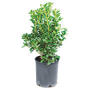 H-E-B Ilex Dwarf Buford Holly