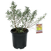H-E-B Texas Backyard 1 Gallon Sliverado Sage