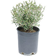 H-E-B Texas Backyard 3 Gallon Ilex Dwarf Yaupon Holly