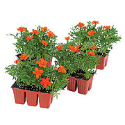 H-E-B Texas Backyard Annuals, Assorted 6pk