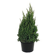 H-E-B Texas Backyard Blue Point Juniper 8 Inch