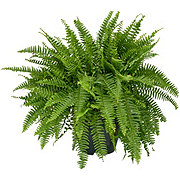 H-E-B Texas Backyard Boston Fern 10 Inch Hanging Basket
