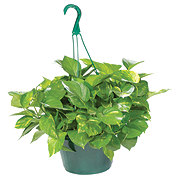 H-E-B Texas Backyard Pothos 10 Inch Hanging Basket