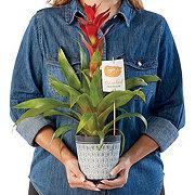 H-E-B Vriesea Bromeliad In Ceramic