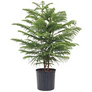 United Nursery Norfolk Island Pine